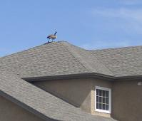 roof geese